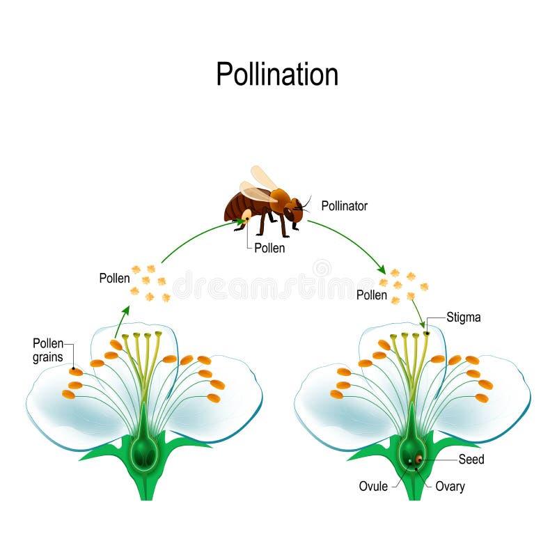 Il processo di impollinazione indiretta facendo uso di un animale dell'impollinatore royalty illustrazione gratis