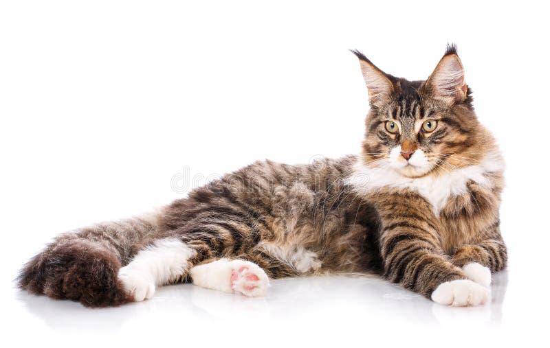 Il procione lavatore della Maine di grande sta trovandosi su un fondo bianco tempo per il gatto di calma di resto immagine stock libera da diritti
