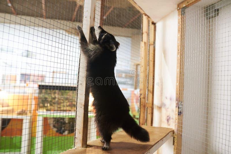 Il procione sveglio sta sulle sue gambe posteriori nella gabbia allo zoo fotografia stock libera da diritti