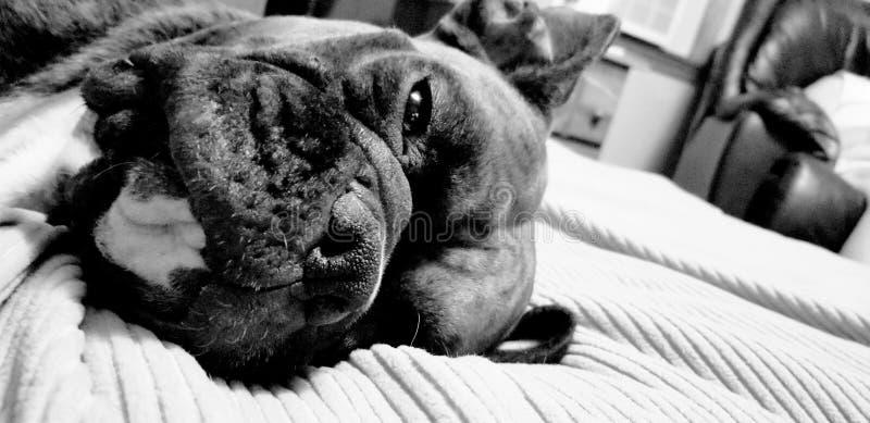 Il pugile di Brendel: mai un momento doppio, pietoso, affettuoso, amante e leale fotografia stock libera da diritti