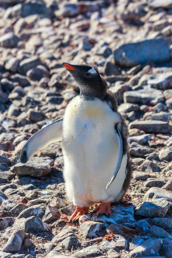 Il pulcino operato del pinguino vuole gli abbracci sulla spiaggia rocciosa di Shetl del sud immagine stock libera da diritti
