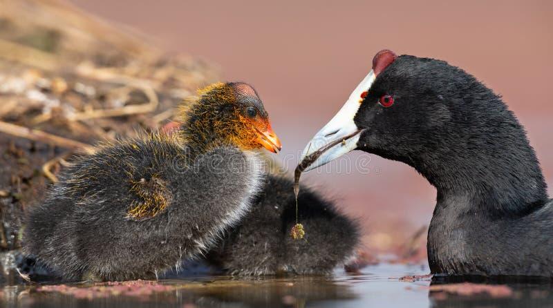 il pulcino Rosso-knobbed della folaga è alimentato il piccolo pesce tramite la madre per guadagnare la forza fotografie stock libere da diritti