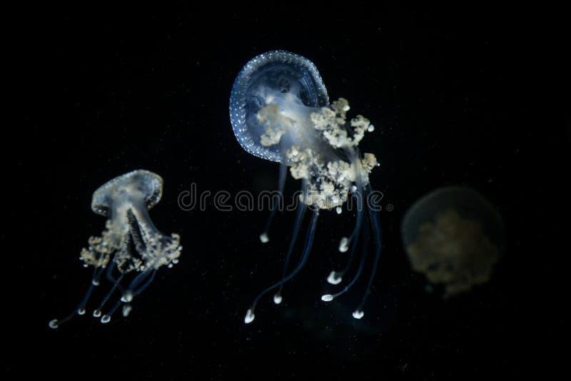 Il punctata macchiato bianco di Phyllorhiza delle meduse, specie diffuse di questa medusa è trovato nel ocea atlantico, indiano e fotografia stock