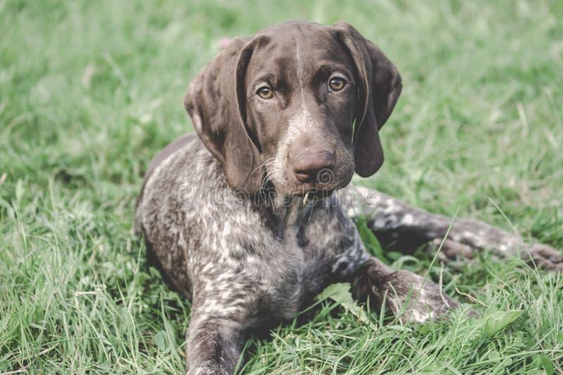 Il puntatore dai capelli corti tedesco, quello kurtshaar tedesco ha macchiato il cucciolo che si trova sull'erba verde fotografie stock