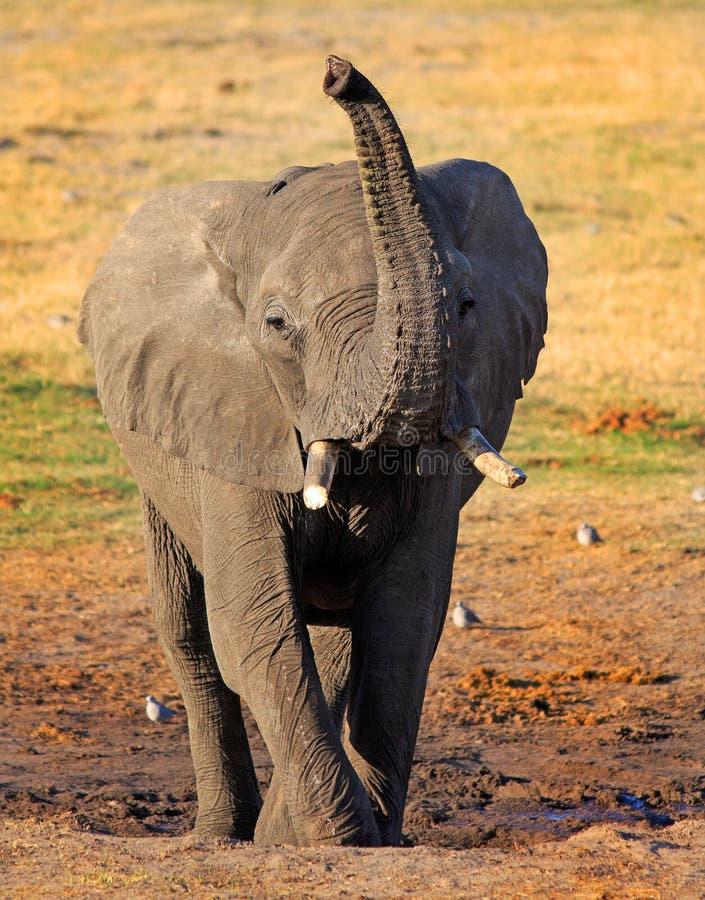 Il punto di vista del ritratto di un elefante africano con è tronco avanzato nell'aria immagine stock
