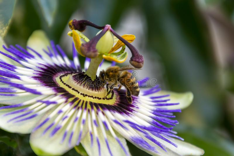 Il punto di vista dell'ape del miele sul fiore di passiflora edulis o sul fiore di passione su uno sfondo naturale fotografia stock libera da diritti
