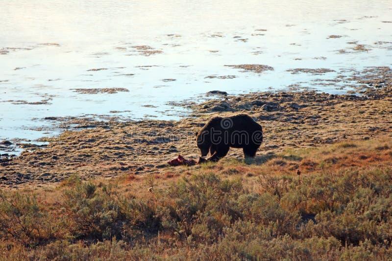 Il punto di vista di primo mattino dell'orso grigio maschio che mangia gli alci fawn la carcassa rubata dai lupi nel parco nazion fotografia stock libera da diritti