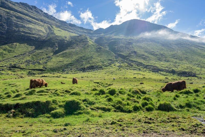 Il punto di vista stupefacente dei tori, mucche o yack pascendo l'erba verde sul meado fotografie stock libere da diritti