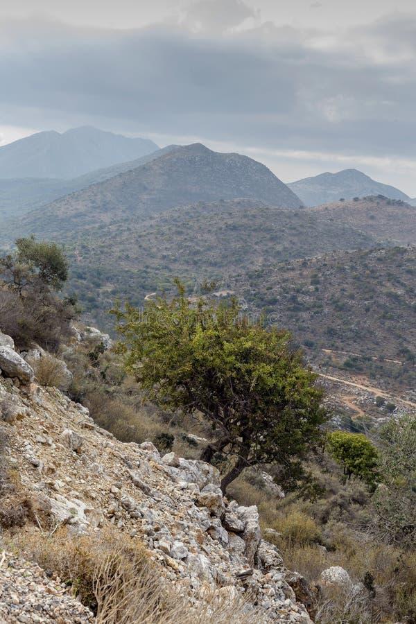 Il pyrus communis selvaggio della pera si sviluppa nelle montagne fotografia stock