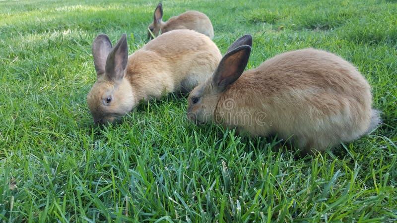 Il rabit di Brown mangia l'erba nel campo fotografia stock