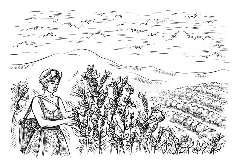 Il raccoglitore della donna raccoglie il caffè al paesaggio della piantagione di caffè nel vettore disegnato a mano di stile graf illustrazione di stock