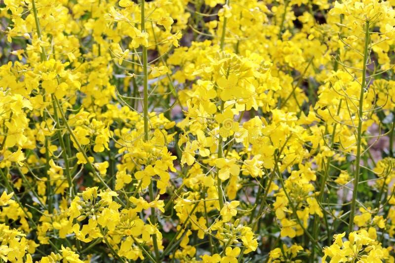 Il raccolto agricolo sbocciante del seme oleifero, fiori gialli di canola fotografia stock