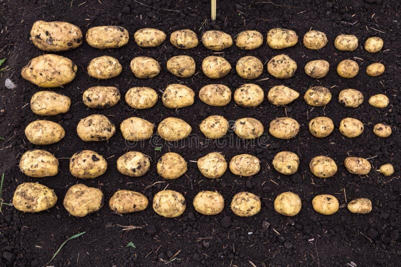 Il raccolto calibrato della patata fotografia stock libera da diritti