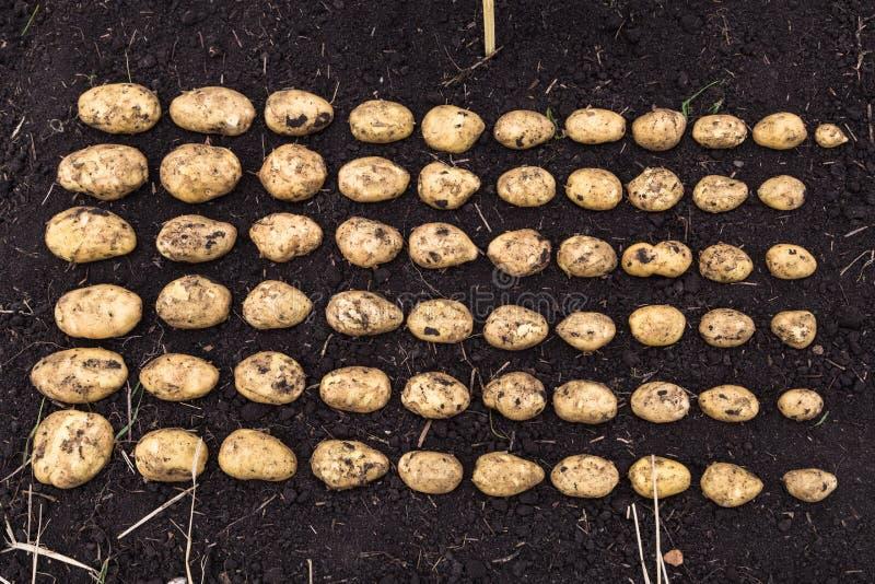 Il raccolto calibrato della patata fotografie stock libere da diritti