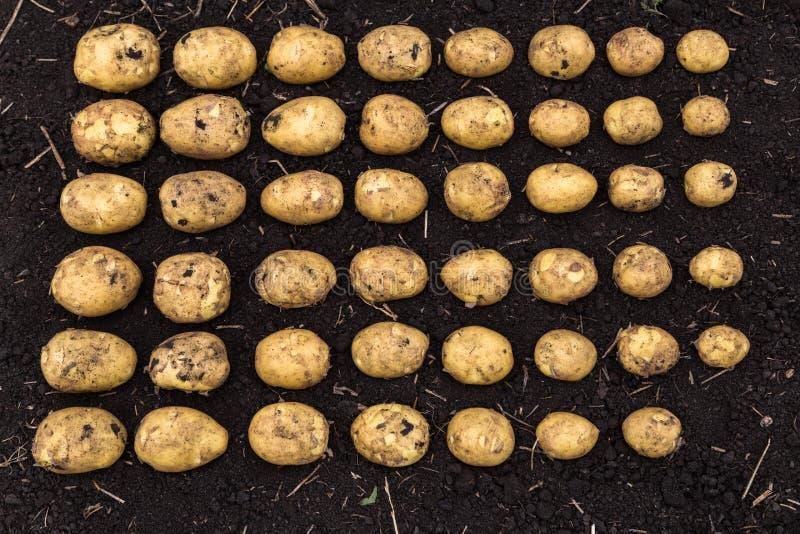 Il raccolto calibrato della patata immagine stock