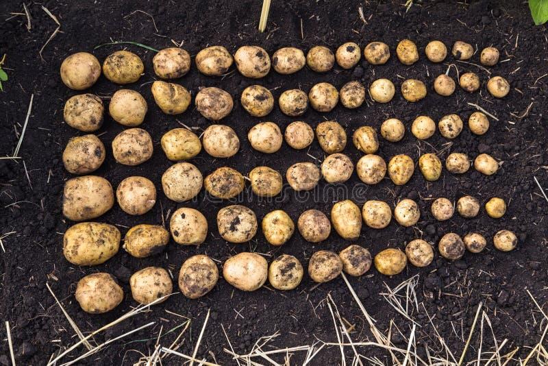 Il raccolto calibrato della patata fotografie stock