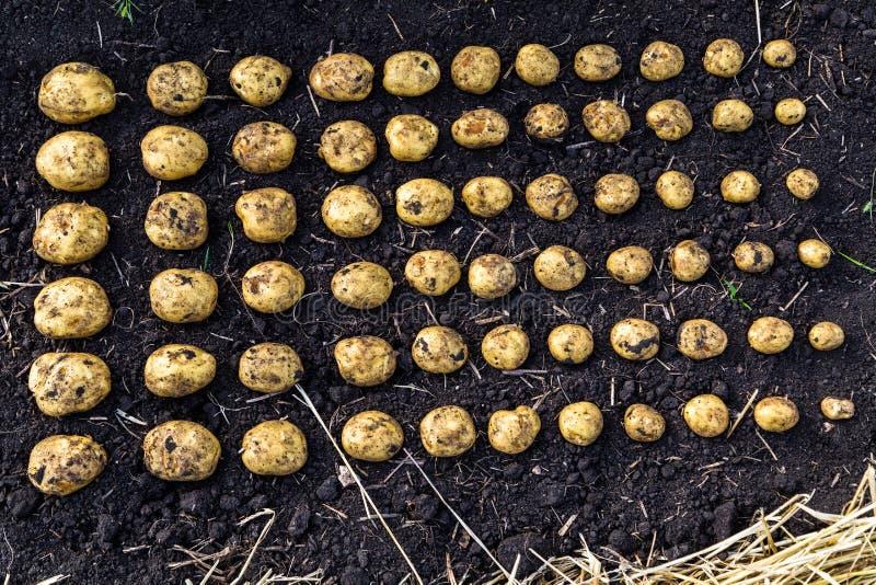 Il raccolto calibrato della patata immagini stock