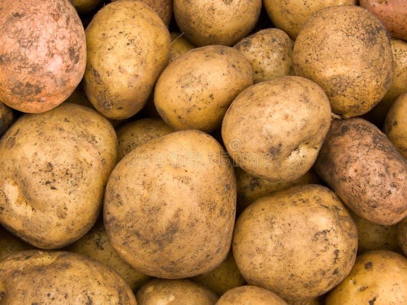 Il raccolto dei tuberi di una patata fotografia stock