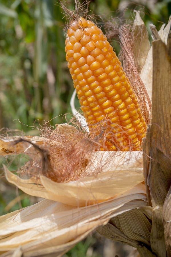 Il raccolto del mais, Gorpara, Manikgonj, Bangladesh fotografia stock