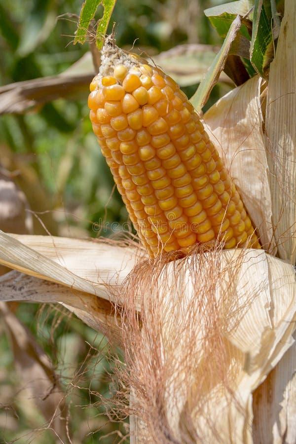 Il raccolto del mais, Gorpara, Manikgonj, Bangladesh fotografie stock