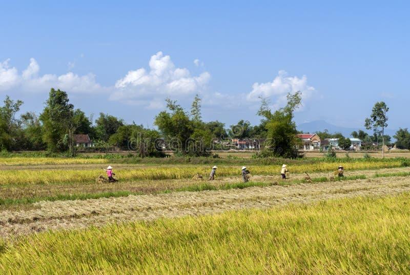 Il raccolto del riso è lavoro manuale per molti fotografie stock libere da diritti