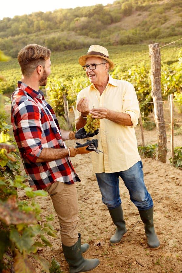 Il raccolto dell'uva ha soddisfatto il padre ed il figlio che lavorano alla vigna immagine stock libera da diritti