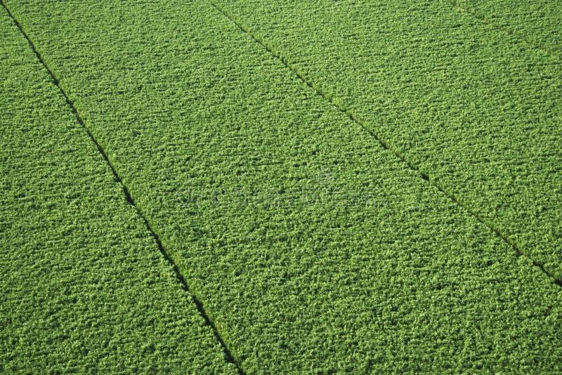 Il raccolto della canna da zucchero. fotografie stock
