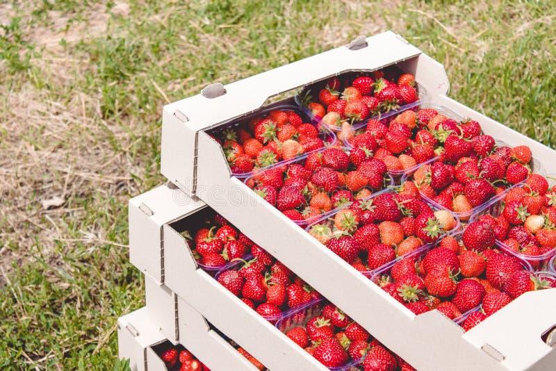 Il raccolto della fragola una fragola rossa appetitosa con le code verdi si trova in un contenitore di cartone sul campo immagini stock libere da diritti