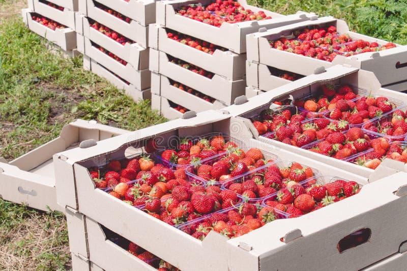 Il raccolto della fragola una fragola rossa appetitosa con le code verdi si trova in un contenitore di cartone sul campo fotografie stock libere da diritti