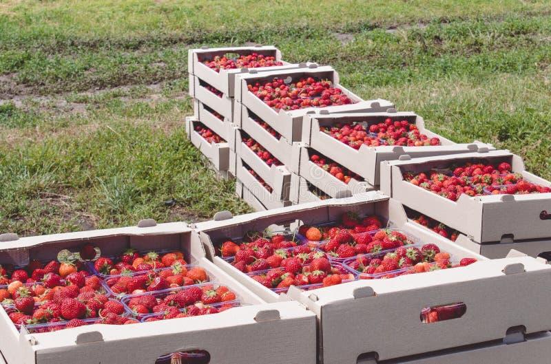 Il raccolto della fragola una fragola rossa appetitosa con le code verdi si trova in un contenitore di cartone sul campo fotografia stock