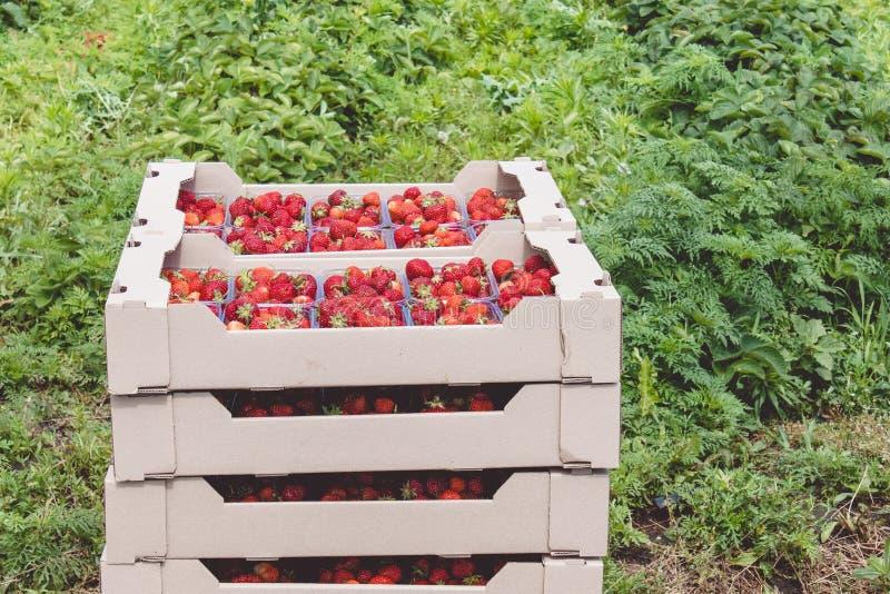 Il raccolto della fragola una fragola rossa appetitosa con le code verdi si trova in un contenitore di cartone sul campo fotografia stock libera da diritti