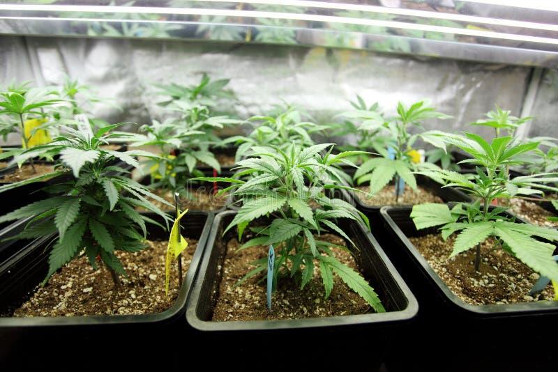 Il raccolto della marijuana immagini stock libere da diritti