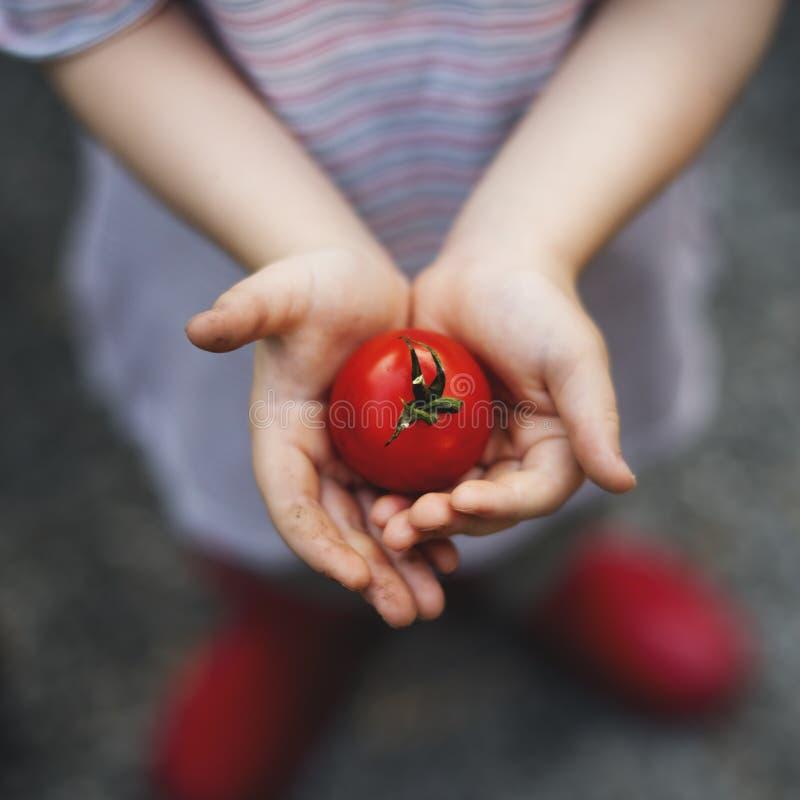 Il raccolto della verdura del pomodoro della tenuta della ragazza fotografia stock