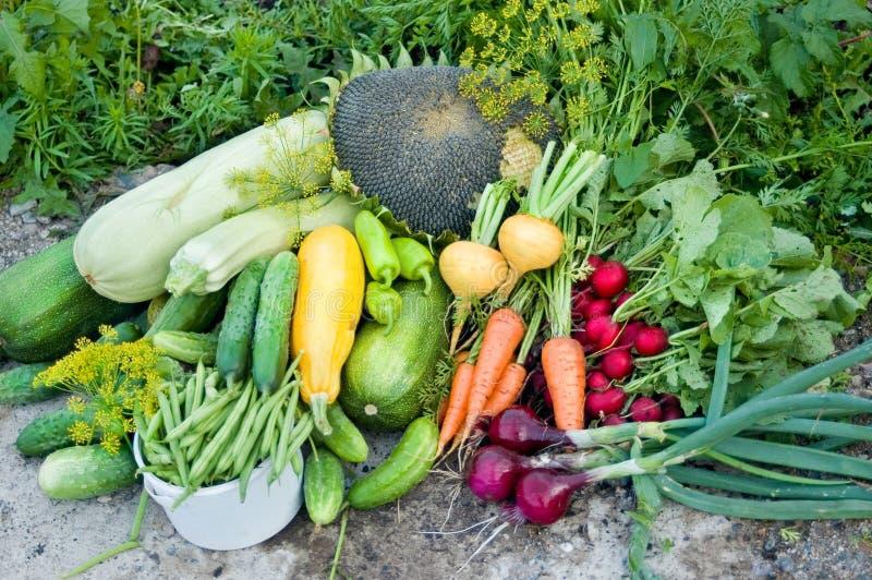 Il raccolto delle verdure fotografie stock
