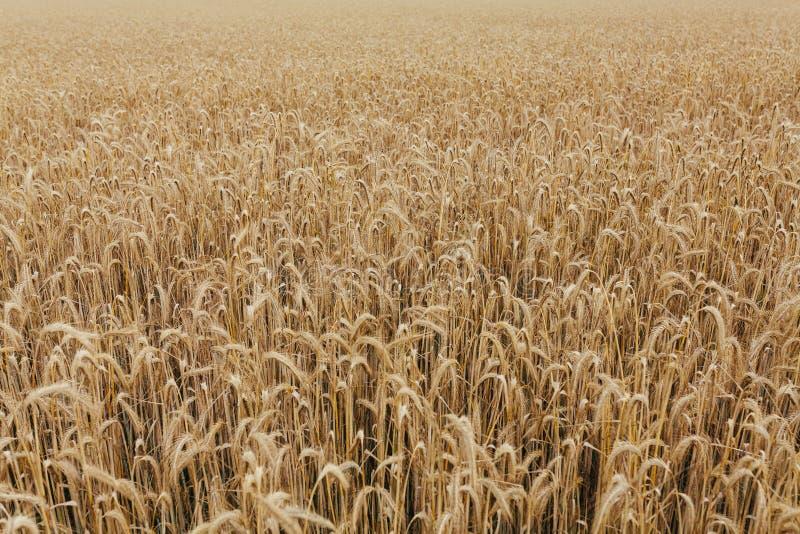 Il raccolto di grano del fondo di struttura del giacimento di grano fotografia stock
