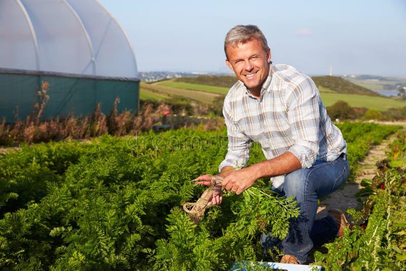 Il raccolto di Harvesting Organic Carrot dell'agricoltore sull'azienda agricola fotografia stock