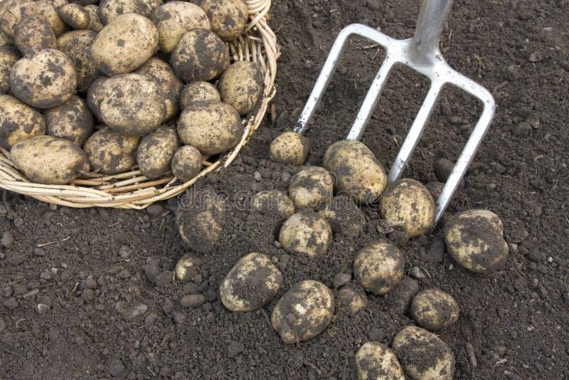 Il raccolto di recente scavato delle patate immagine stock