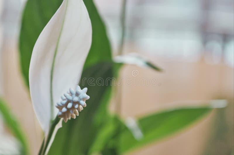 Il raccolto di wallisii di Spathiphyllum a casa immagine stock libera da diritti