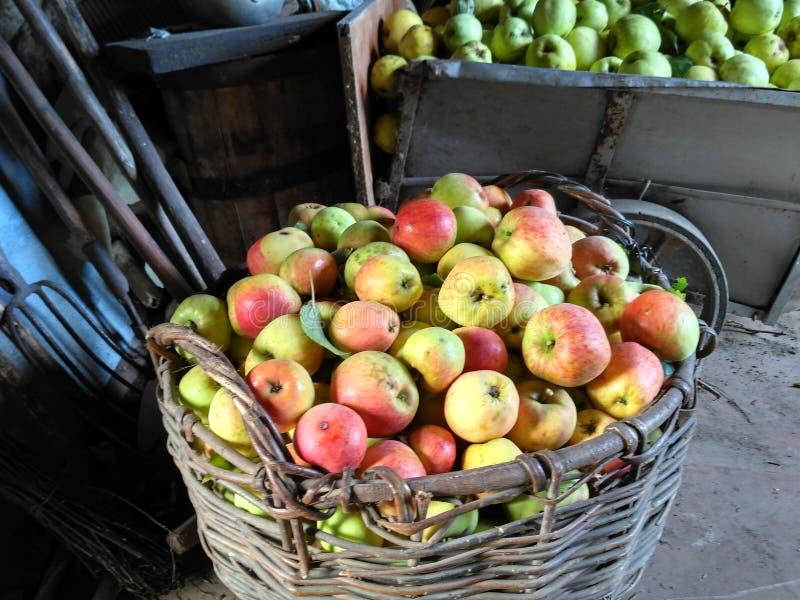 Il raccolto ricco delle mele ha raccolto in primo piano rustico del granaio immagine stock