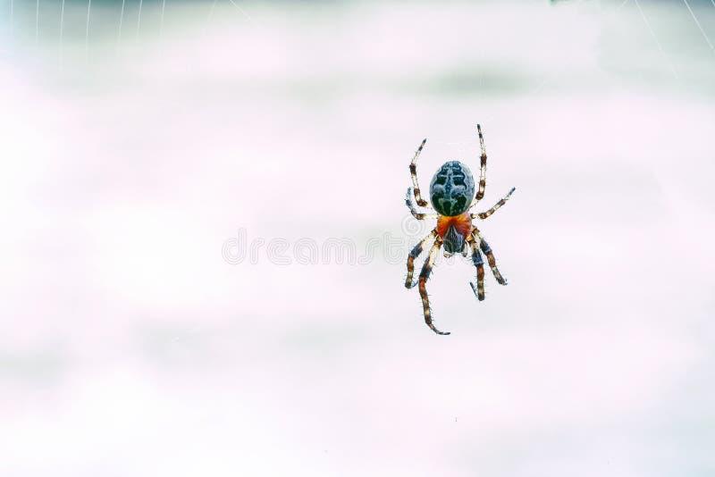 Il ragno con l'incrocio sopra appoggia sul web immagine stock