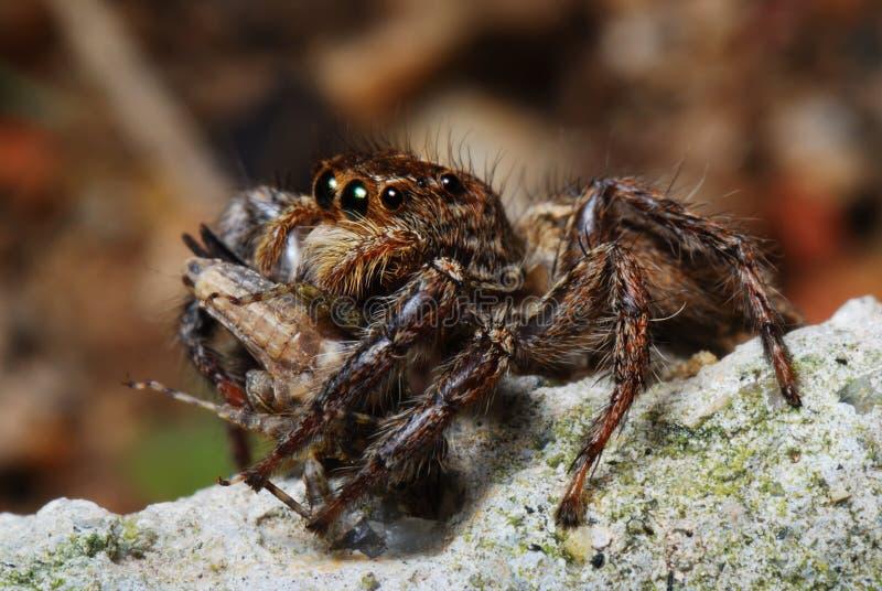 Il ragno con la preda ha catturato fotografia stock