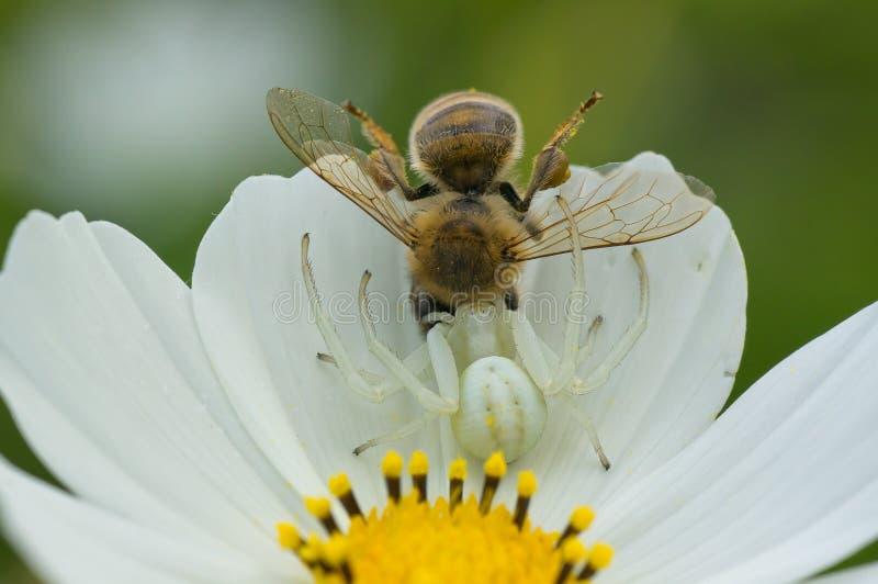 Il ragno del granchio prende l'ape mellifica fotografia stock