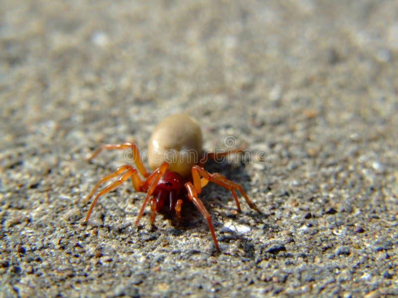 Il ragno del Woodlouse (crocata di Dysdera) fotografie stock