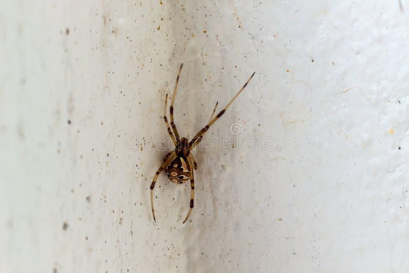 Il ragno della vedova di Brown immagine stock