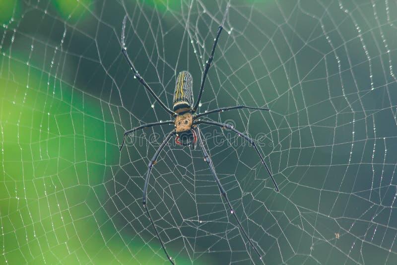 Il ragno dorato del Globo-tessitore tricotta le grandi fibre seguendo la linea verticale fra gli alberi fotografia stock