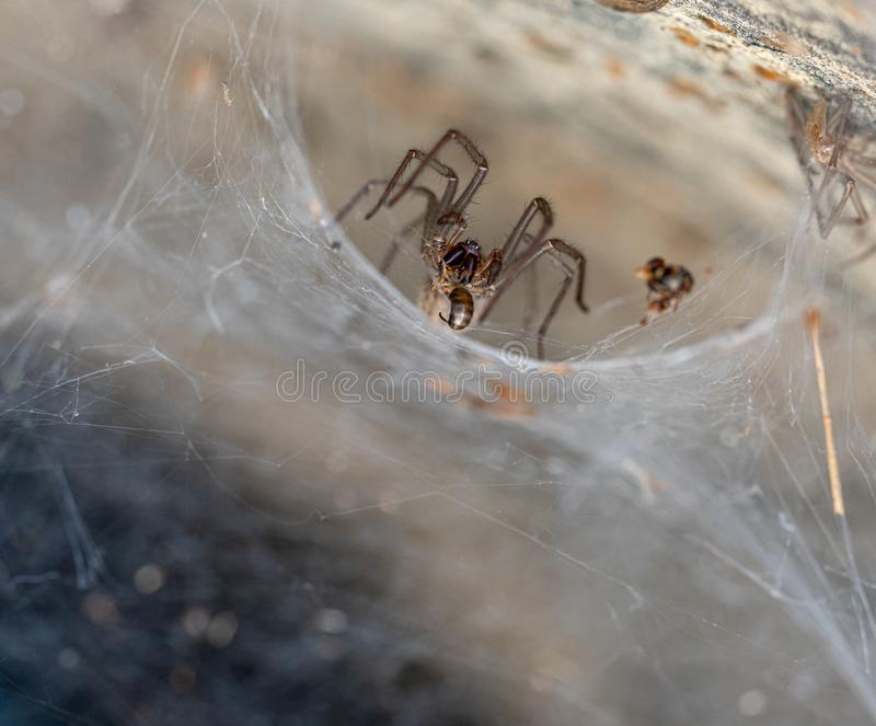 Il ragno esce dal suo ragno dei cunicoli per mangiare la sua preda fotografia stock