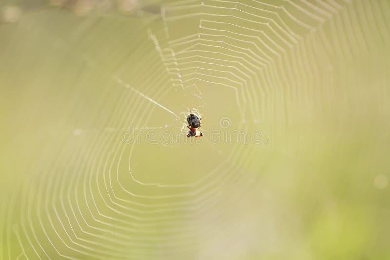 il ragno ha filato un web sul prato di verde dell'estate fotografia stock libera da diritti