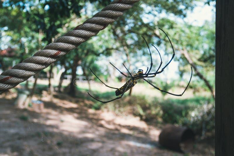 Il ragno nero e giallo di colore ? fotografato vicino su, ragno della vedova nera, la macro immagine, lo sfondo naturale, grande  fotografia stock libera da diritti
