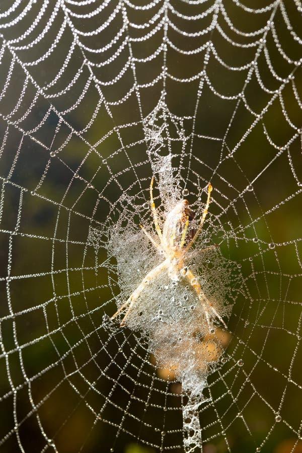 Il ragno si siede su un web bagnato fotografia stock