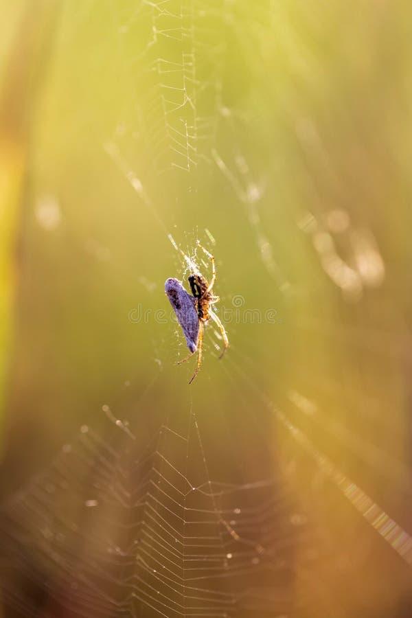 Il ragno si siede sul web in natura fotografie stock